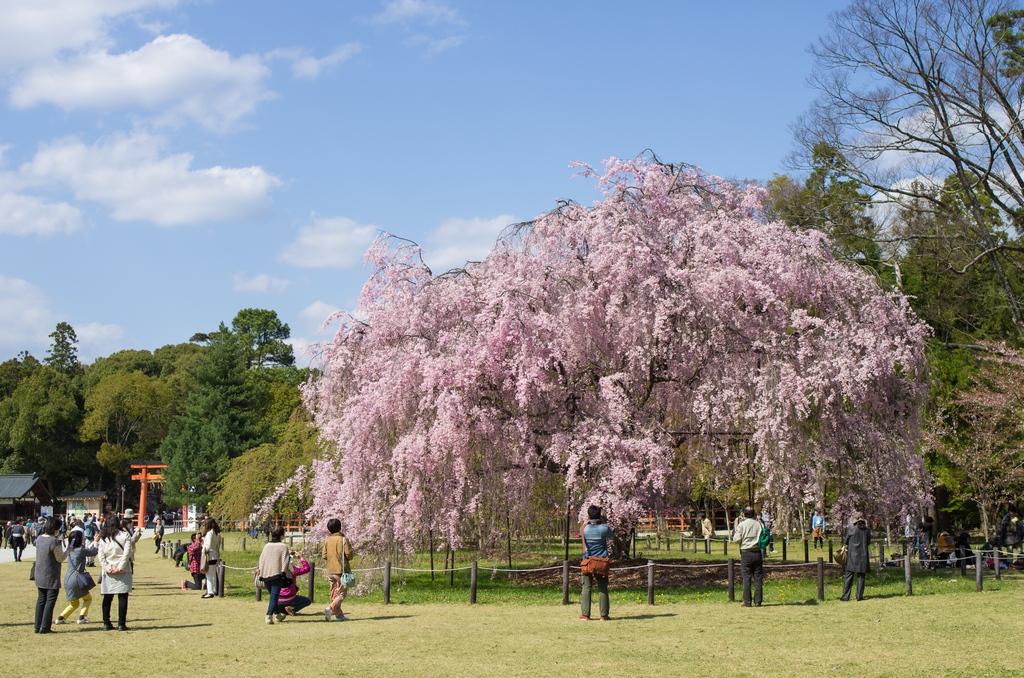 「今年最後の桜巡り~2013~Part3」_a0133692_16143078.jpg