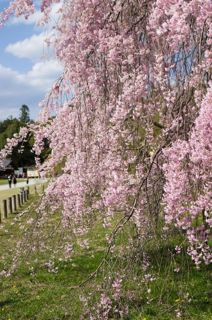 「今年最後の桜巡り~2013~Part3」_a0133692_16164815.jpg