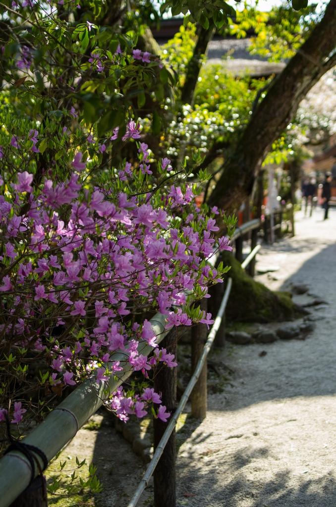 「今年最後の桜巡り~2013~Part3」_a0133692_16205672.jpg