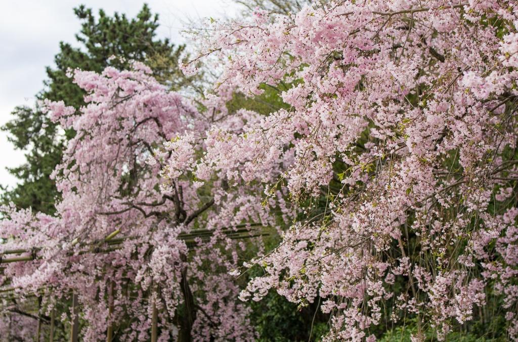 「今年最後の桜巡り~2013~Part3」_a0133692_16325765.jpg