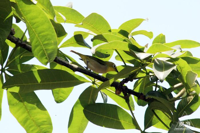 172 台北 ~台湾の野鳥~_c0211532_22485588.jpg