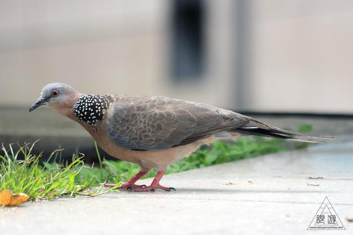 172 台北 ~台湾の野鳥~_c0211532_2253715.jpg