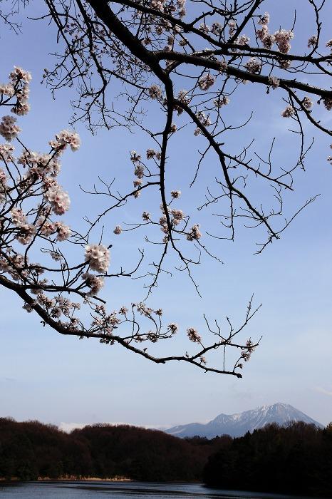 山陰紀行 6 (2013 桜 岡成池)_a0294534_19541959.jpg