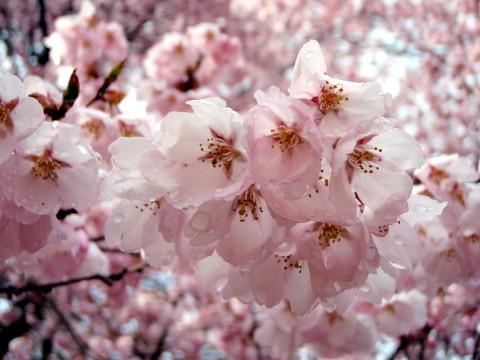 お花見_a0023246_17515720.jpg