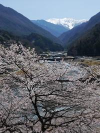 大鹿村の桜_b0142989_2129610.jpg