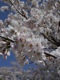 大鹿村の桜_b0142989_2134490.jpg
