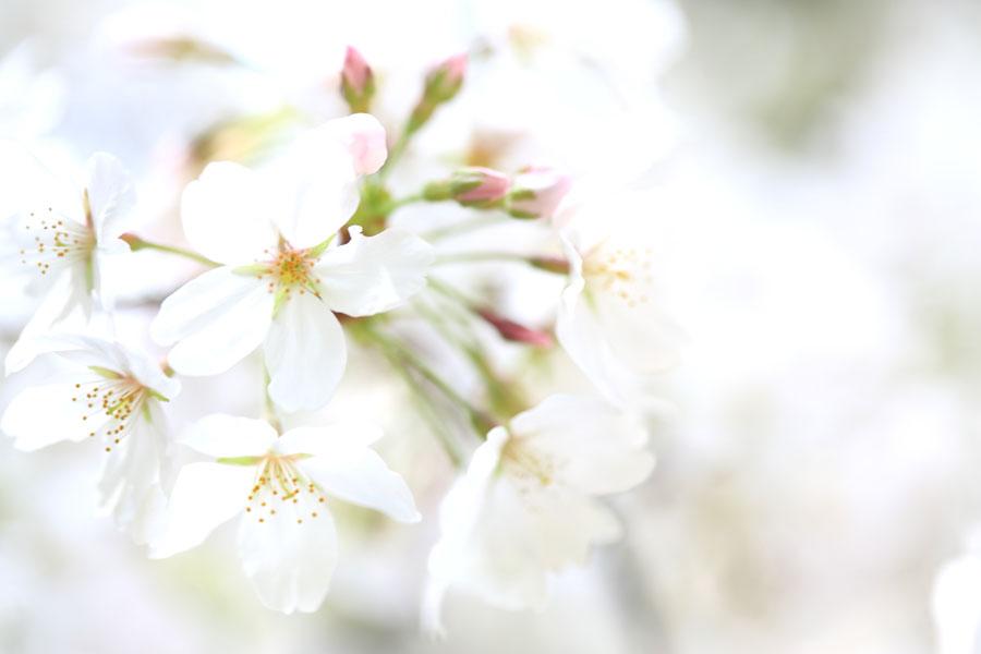 Sakura2013_b0043304_1810281.jpg