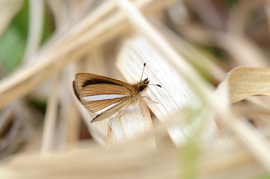河川敷の蝶 その1−−ギンイチモンジセセリ(2013年4月14日) _d0303129_14443438.jpg