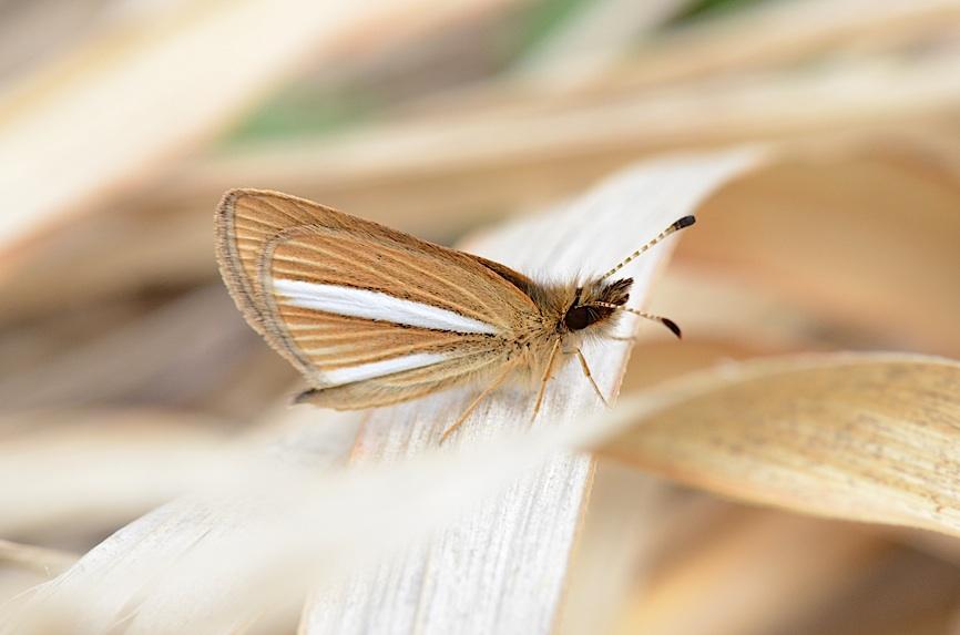 河川敷の蝶 その1−−ギンイチモンジセセリ(2013年4月14日) _d0303129_14444642.jpg