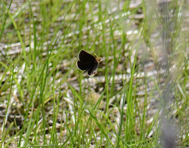 河川敷の蝶 その1−−ギンイチモンジセセリ(2013年4月14日) _d0303129_14461593.jpg