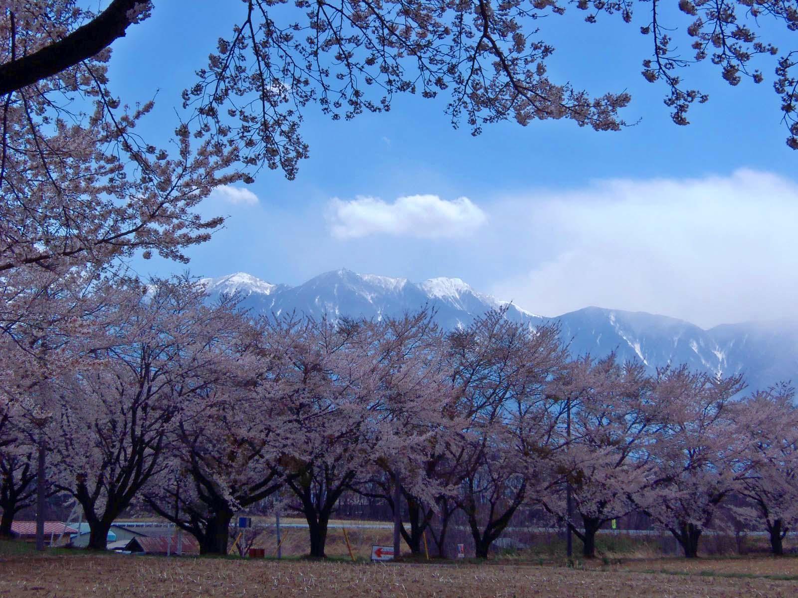 桜の花の咲く頃は♪_d0127634_13422773.jpg