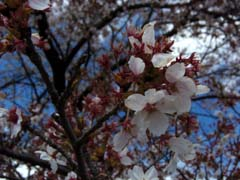 桜の花の咲く頃は♪_d0127634_15145635.jpg