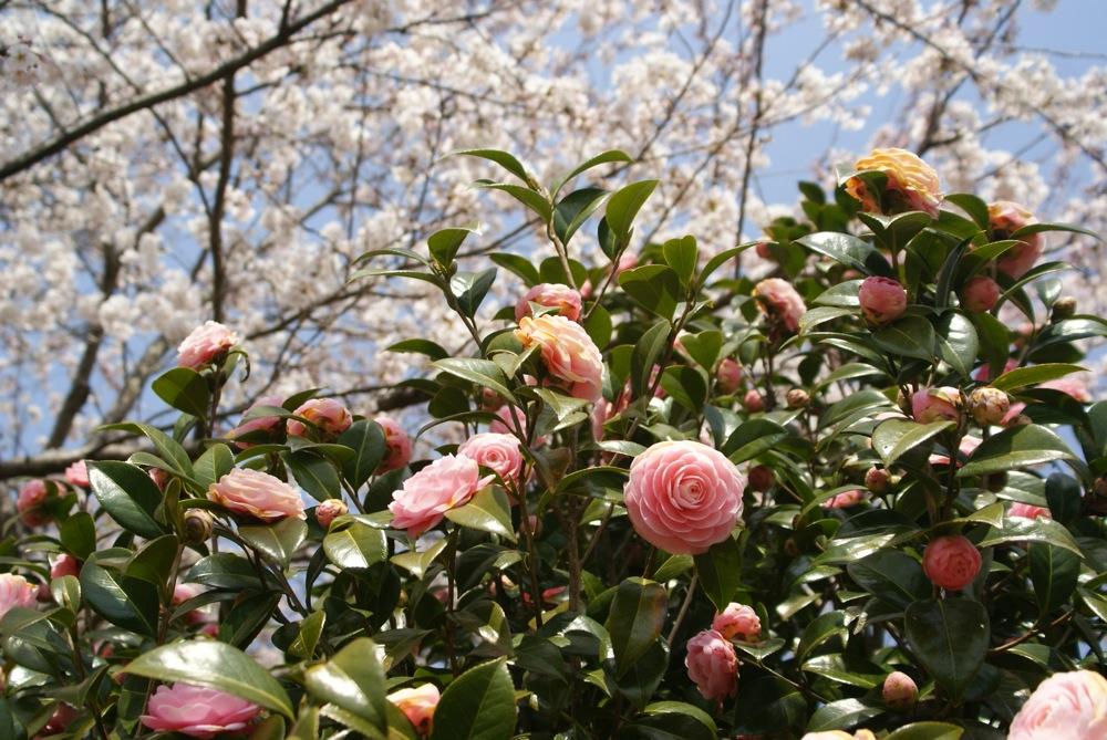 一足先に春爛漫_d0001843_2036891.jpg