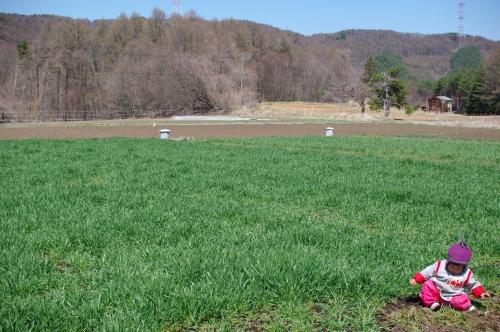 4月の小麦畑 (小麦2013)_c0110869_22231560.jpg