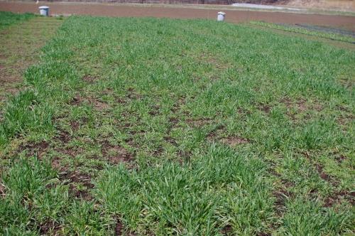 4月の小麦畑 (小麦2013)_c0110869_22232313.jpg