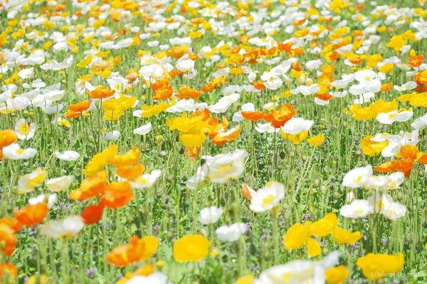 アイスランドポピーのお花畑。昭和記念公園ひろーい ひろーい。 アイスランドポピーのお花畑。