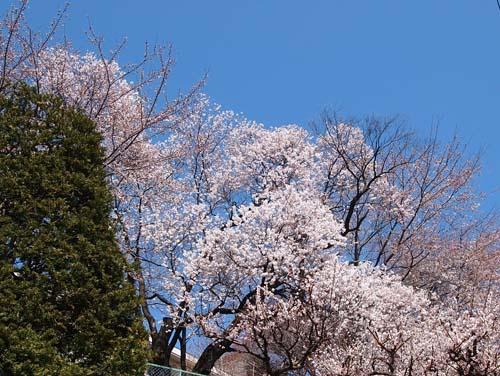 諏訪の桜_a0224382_23431834.jpg