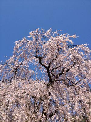 お花見と「通過儀礼」。_d0028589_16213670.jpg