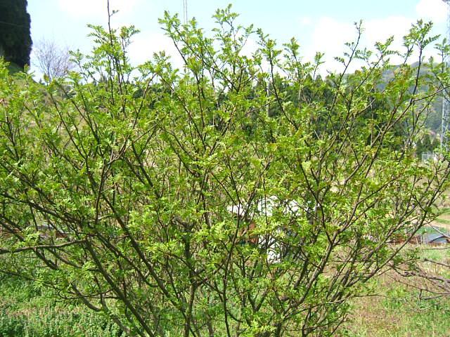 花山椒の収穫始まる_c0220321_1835164.jpg