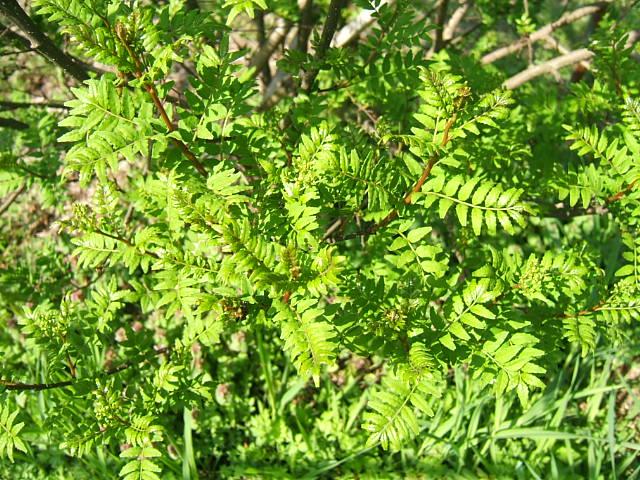 花山椒の収穫始まる_c0220321_1835412.jpg