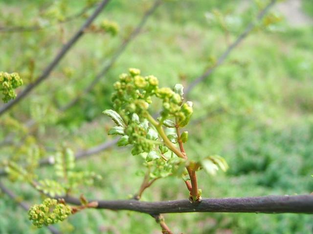 花山椒の収穫始まる_c0220321_18373833.jpg