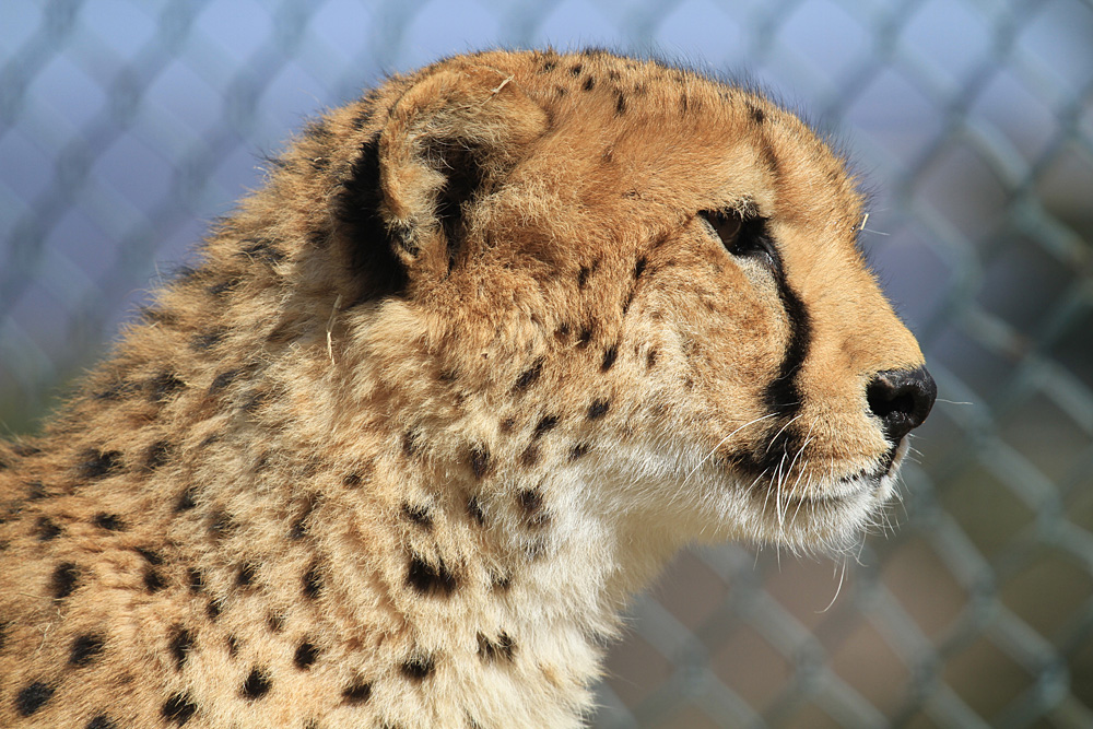 2013.2.14 群馬サファリのチーター 【Cheetah】_f0250322_1915015.jpg