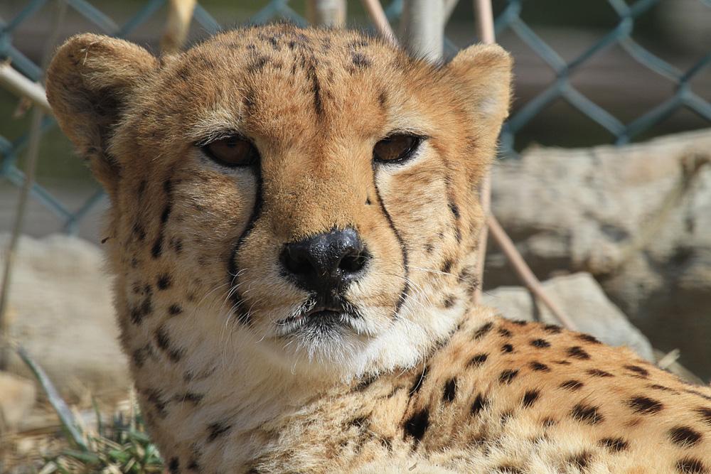 2013.2.14 群馬サファリのチーター 【Cheetah】_f0250322_192077.jpg