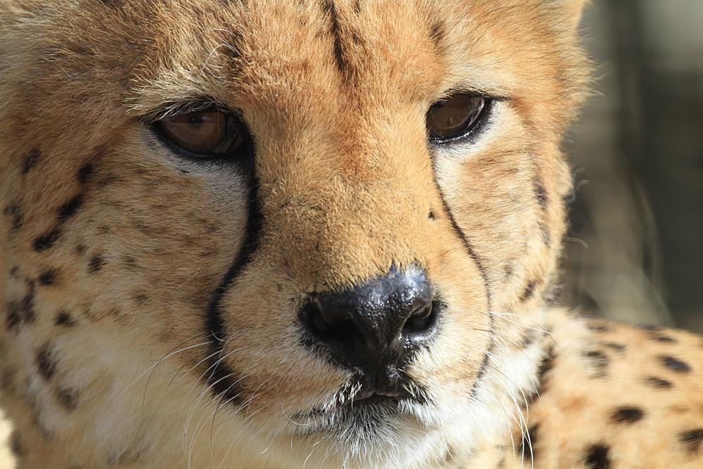 2013.2.14 群馬サファリのチーター 【Cheetah】_f0250322_1921386.jpg