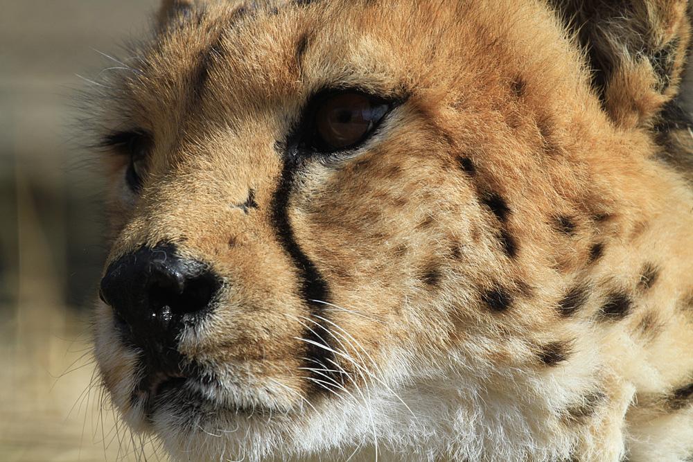2013.2.14 群馬サファリのチーター 【Cheetah】_f0250322_192954.jpg