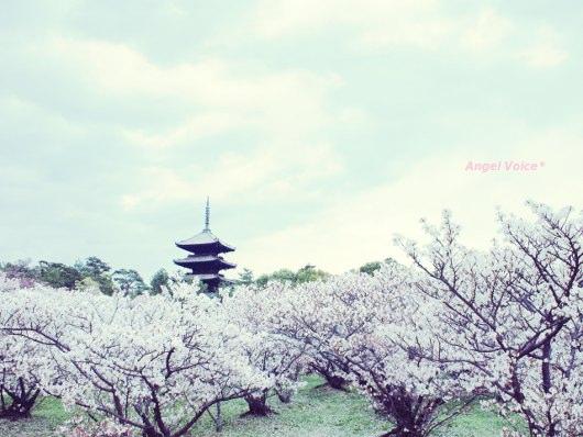 御室桜_d0147742_10533237.jpg