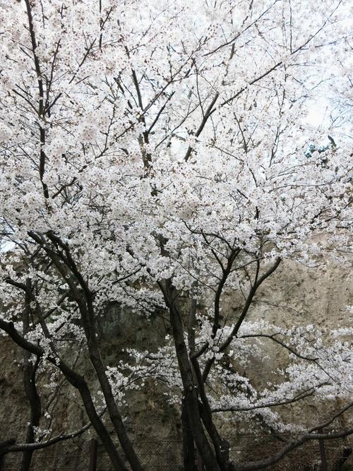 小諸の桜❤懐古園周辺散策_f0236260_18141693.jpg