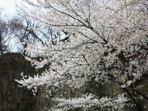 小諸の桜❤懐古園周辺散策_f0236260_1814398.jpg