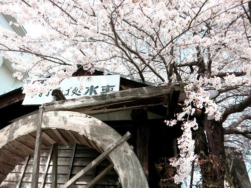 小諸の桜❤懐古園周辺散策_f0236260_18145044.jpg