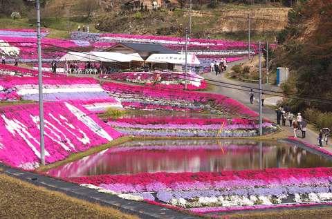 大道理の芝桜_e0122219_2010515.jpg