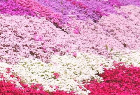 大道理の芝桜_e0122219_2092516.jpg