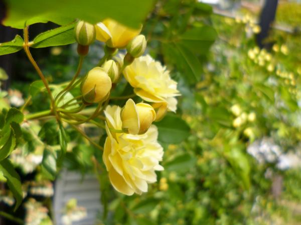 庭の木香バラが咲きました_c0004024_9474394.jpg