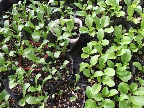 レタスの苗が成長...今週末に植え付けます。_b0137932_208766.jpg