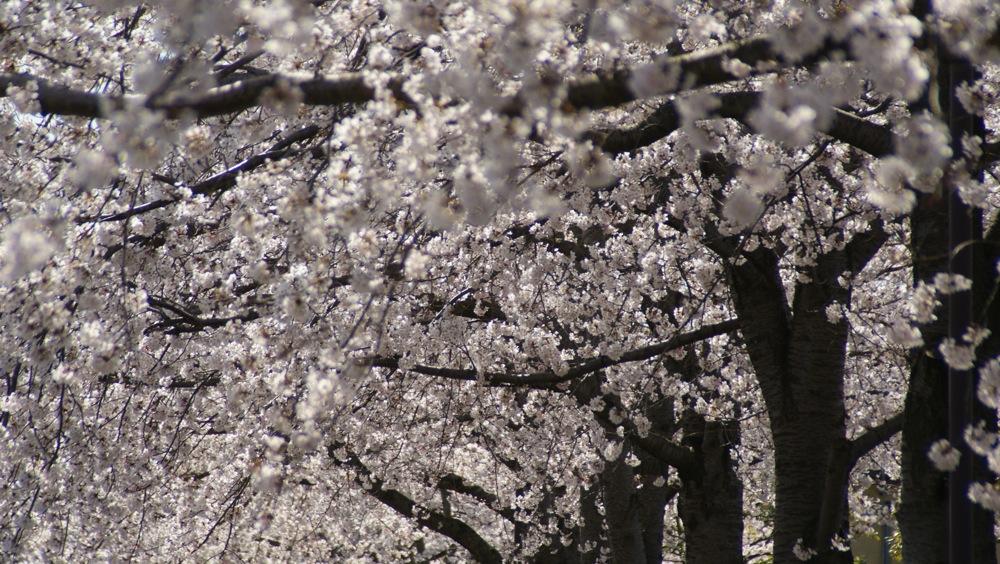 桜を撮るひと_d0001843_23144100.jpg