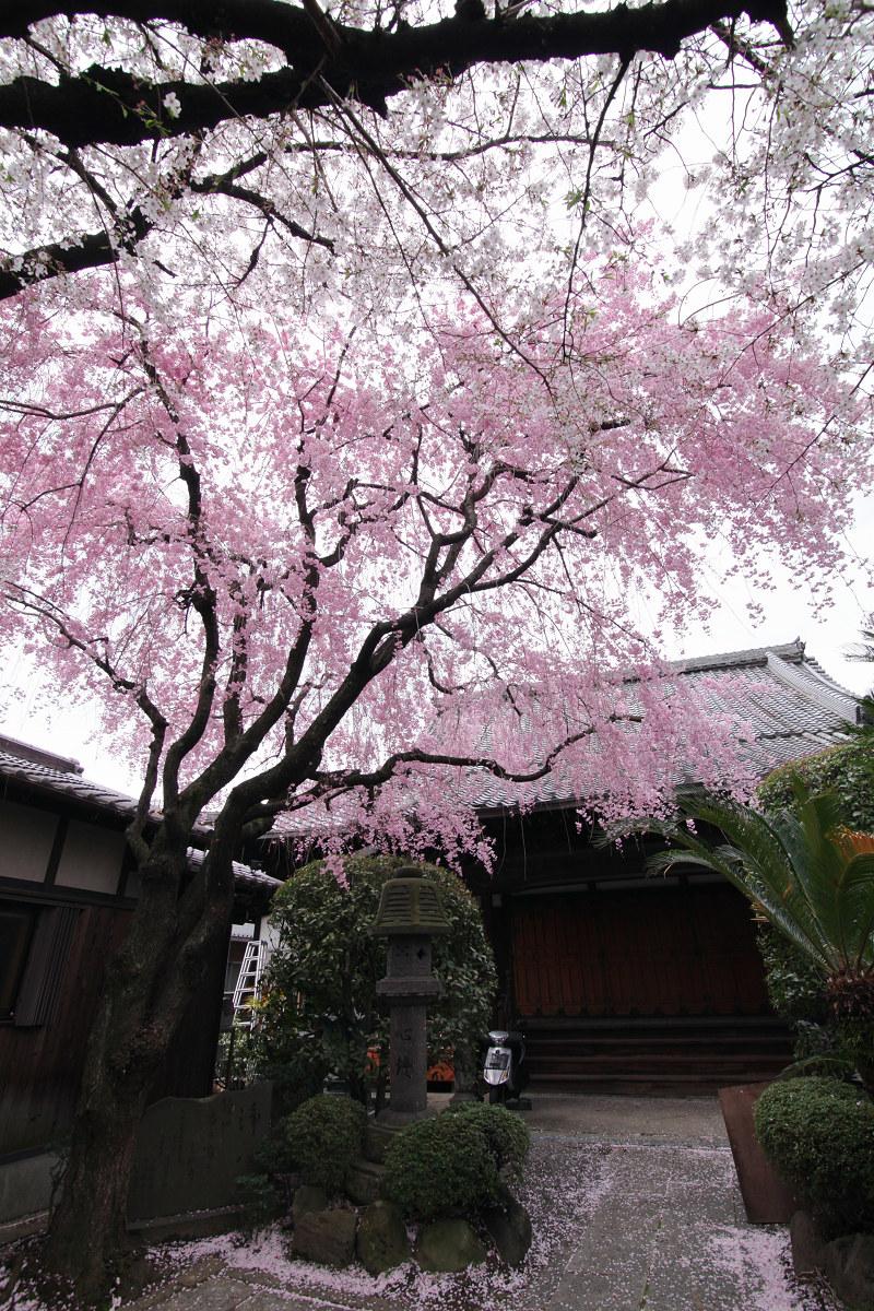 桜 2013 <京都 伏見>  _f0021869_22451853.jpg