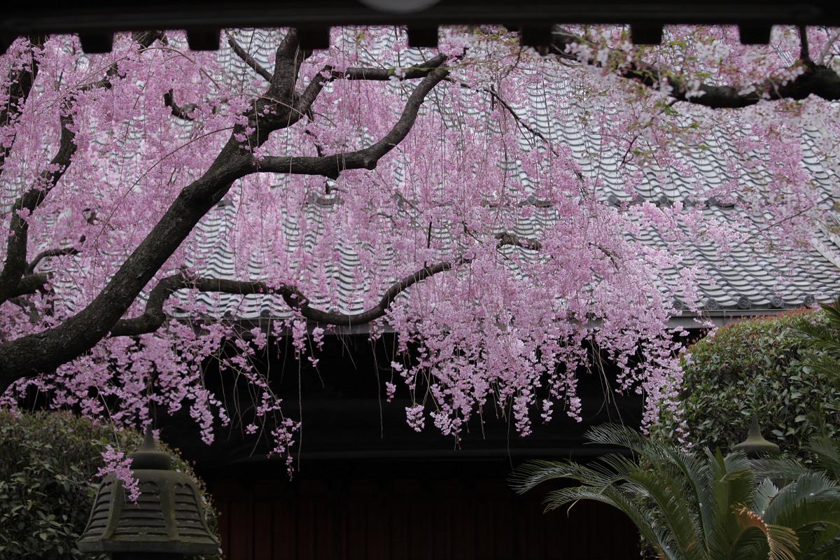 桜 2013 <京都 伏見>  _f0021869_2245255.jpg