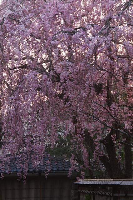 それぞれの桜景色_d0088788_0212520.jpg