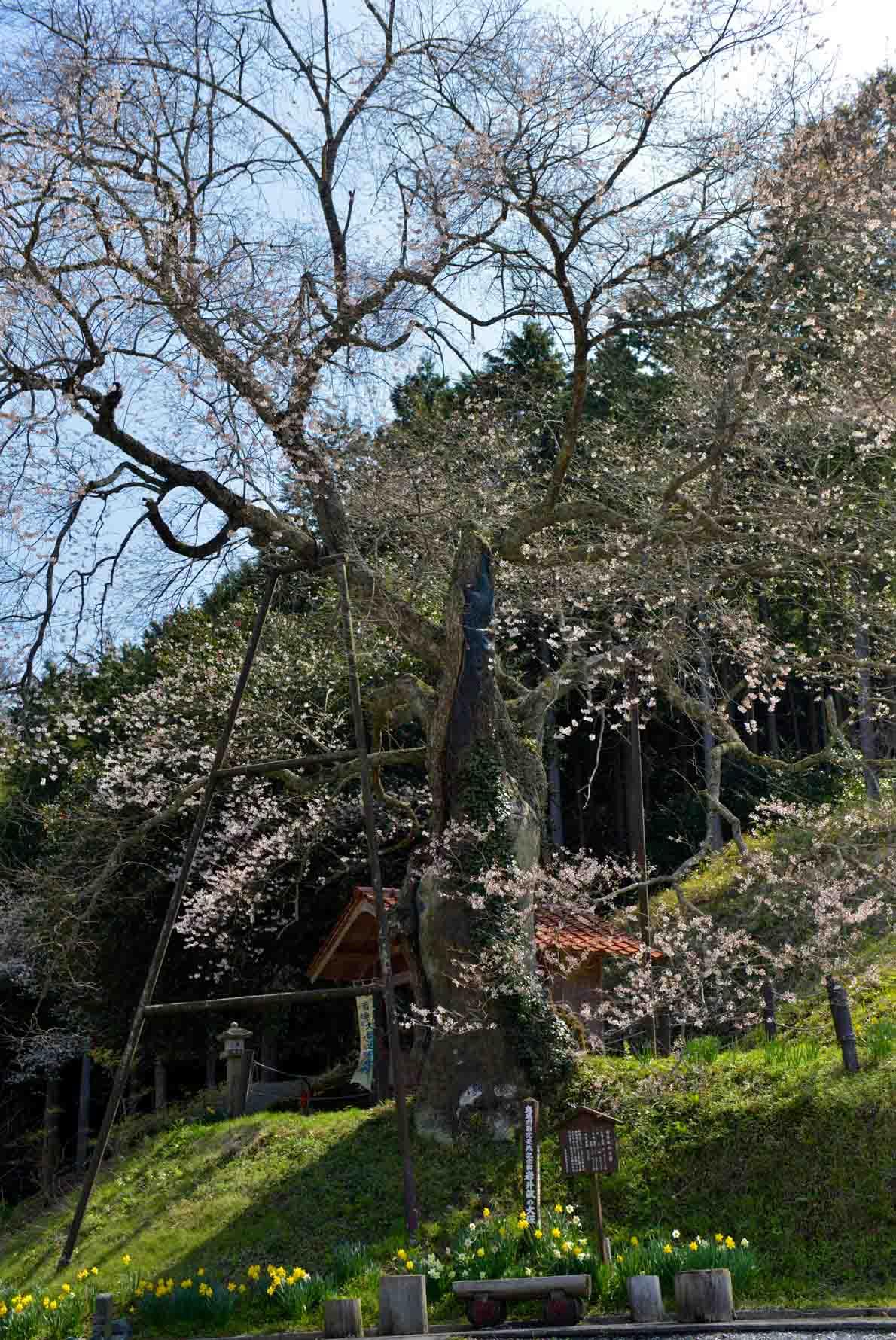 今年最後の 桜 を求めて ③_d0246136_16492214.jpg