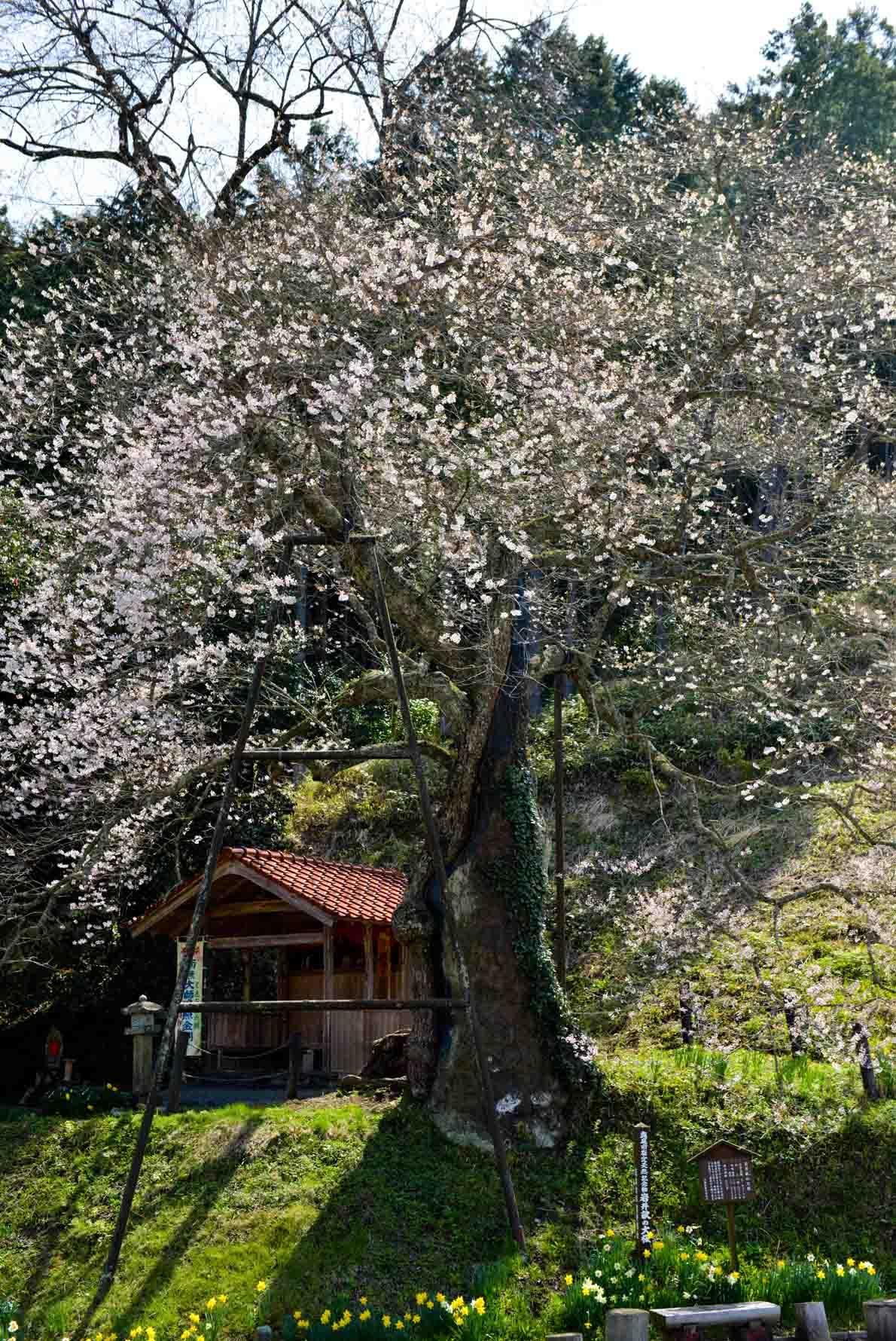 今年最後の 桜 を求めて ③_d0246136_1649389.jpg