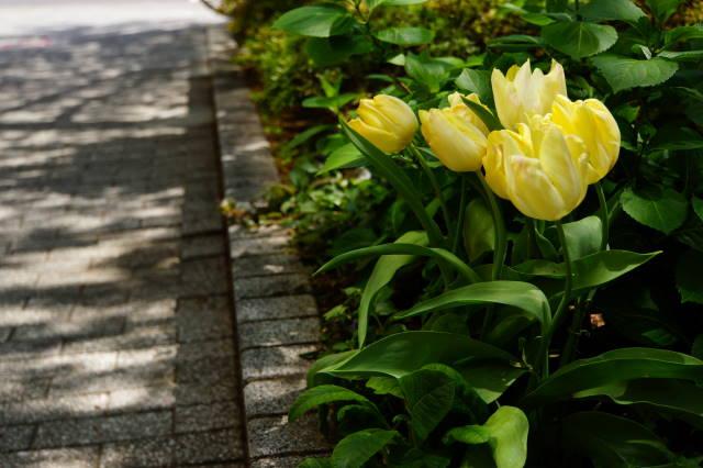 チューリップの咲く小径_a0257652_20535192.jpg