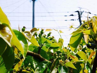 熊本梨 本藤果樹園 摘果作業の準備_a0254656_18131367.jpg