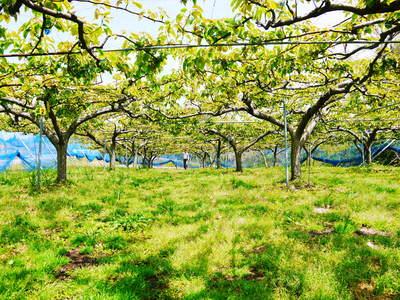 熊本梨 本藤果樹園 摘果作業の準備_a0254656_18421923.jpg