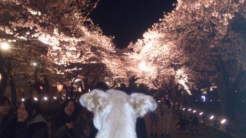 日本三大夜桜~高田公園のさくらロード~ちゃま初夜桜。_d0182179_18394622.jpg