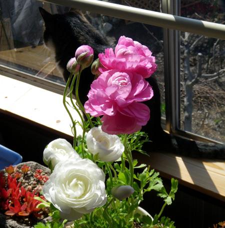 庭のクロッカス、猫部屋のミニシクラメンなど♪_a0136293_17265489.jpg