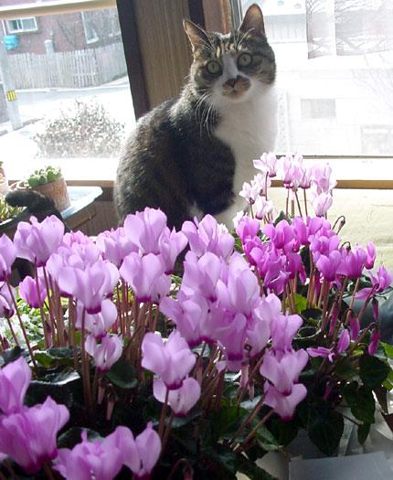 庭のクロッカス、猫部屋のミニシクラメンなど♪_a0136293_17293122.jpg