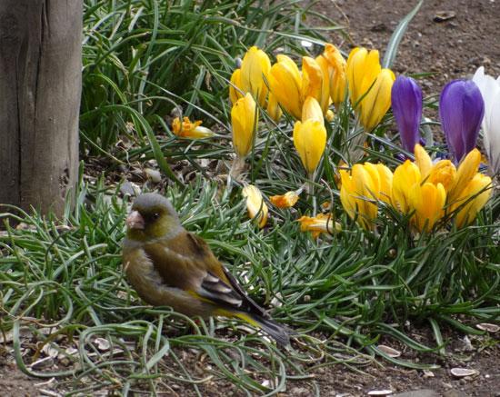 庭のクロッカス、猫部屋のミニシクラメンなど♪_a0136293_17482385.jpg